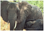 X-tra! A PEACE for ENDANGERED SPECIES (en) - (EN) Elephant - English